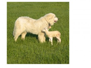 Border Collie and lamb on the farm