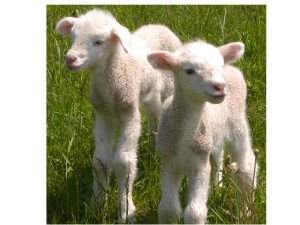 2 adorable lambs on the farm